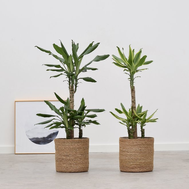 Dracaena Green + Golden Coast - 100cm