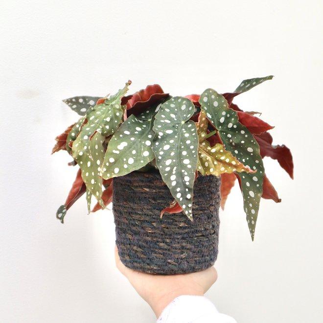 Begonie Gefleckte Pflanze - 40cm