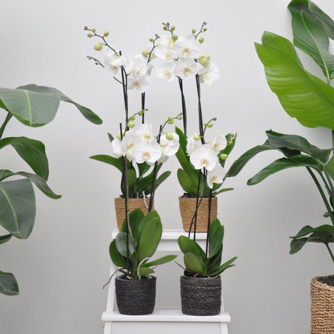 Weiße Welt Orchidee Paket