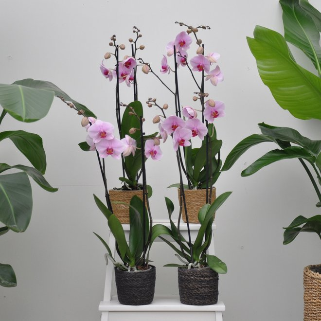 Green Bubble Roze orchidee pakket