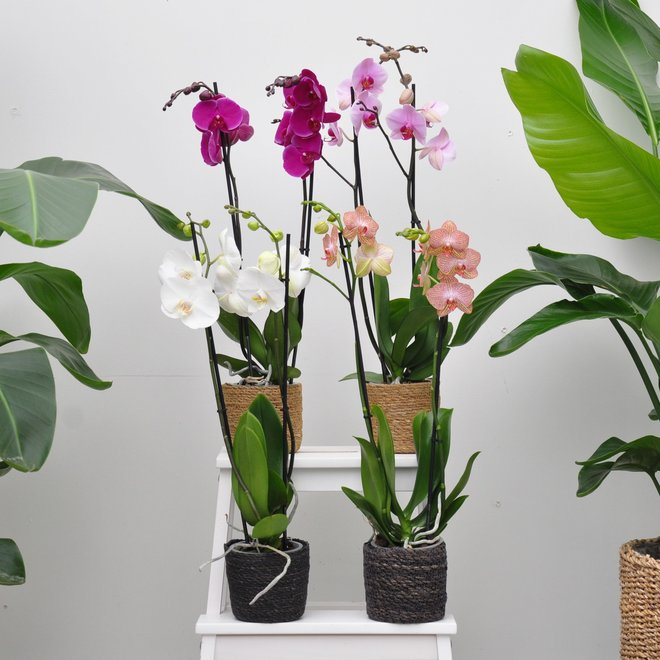 Mix orchidee pakket