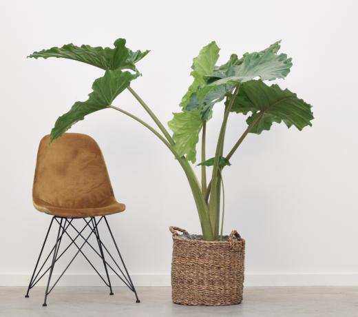 Grote planten (XL formaat)