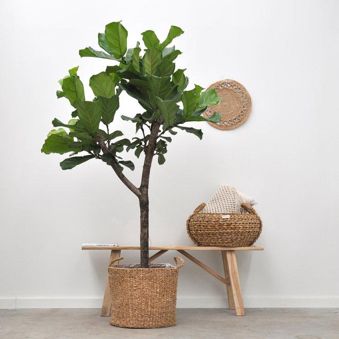 Ficus Lyrata boom XL -180 cm