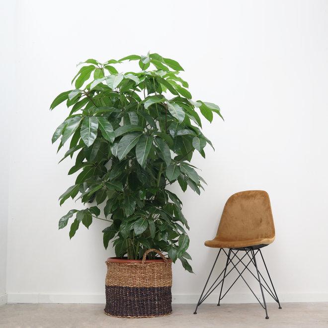 Schefflera Amate XL - 160cm