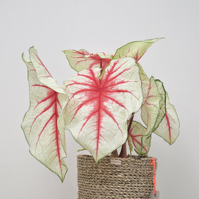 Caladium Red Heart - 40cm