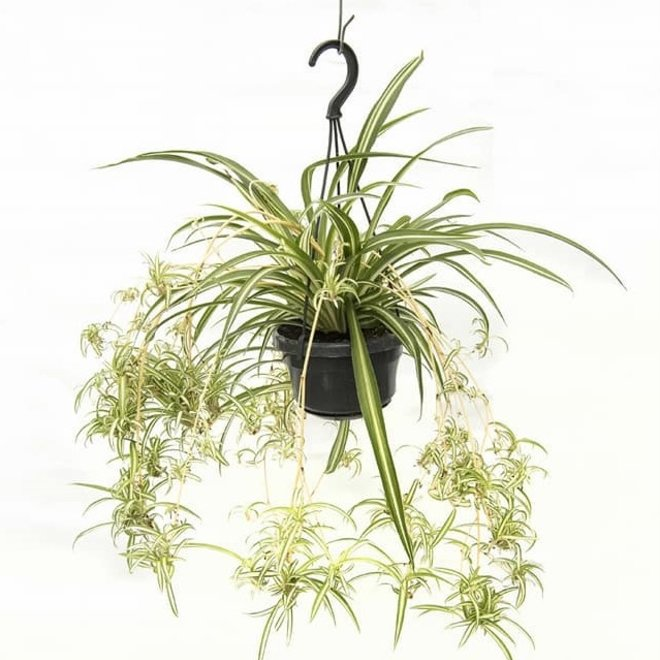 Hanging plant Grass lily - 30cm