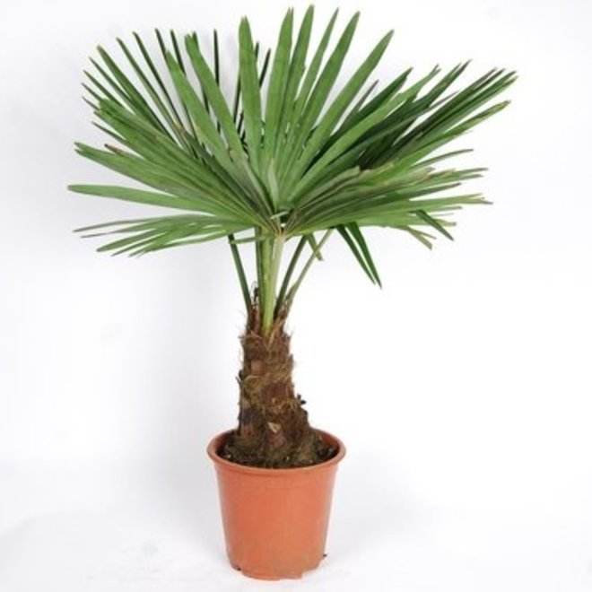 Winterharde palmboom - Trachycarpus