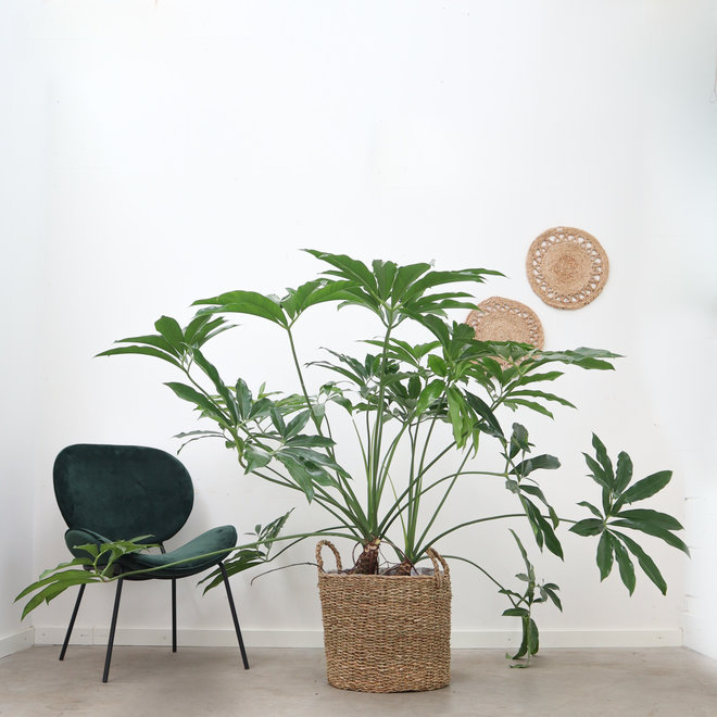 Philodendron Funbun - 140 cm