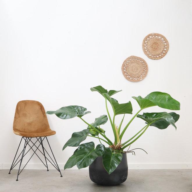 Philodendron Gigantheum - 130 cm