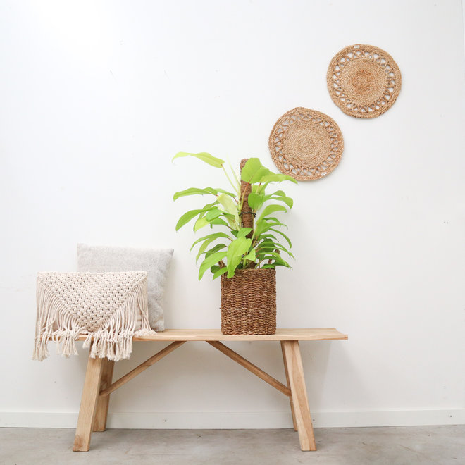 Philodendron Malay Gold Mosstok - 70cm