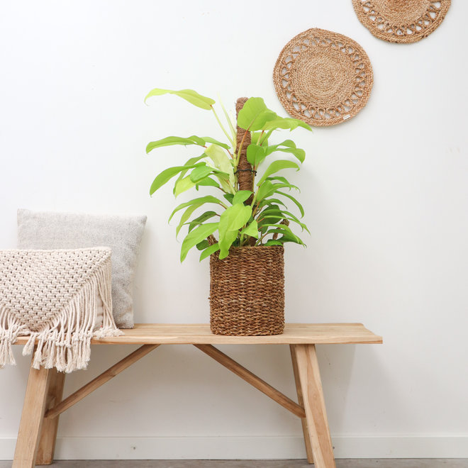 Philodendron Malay Gold Mosstok - 70 cm