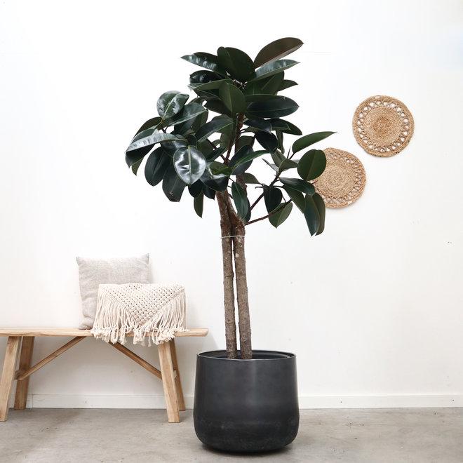 Ficus elastica burgundy - 170 cm