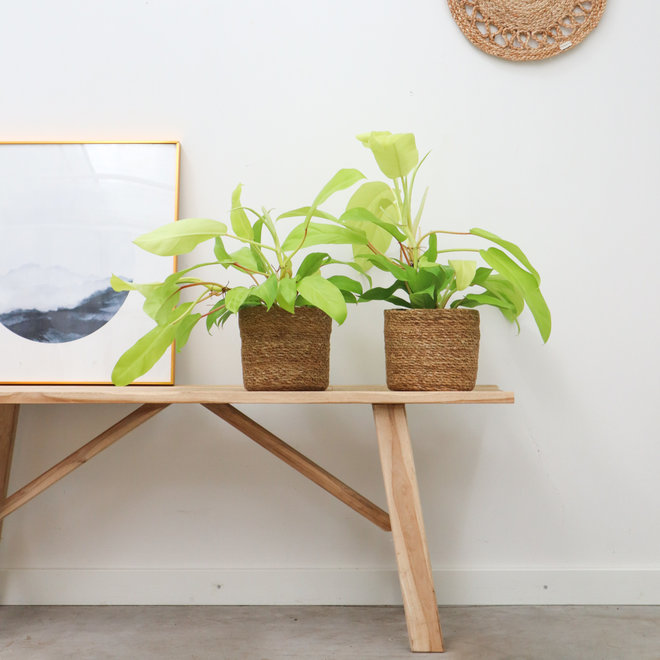 Philodendron Malay Gold - 30cm