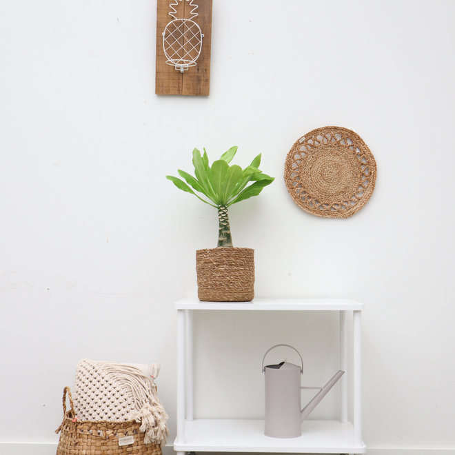 Brighamia insignis 'Hawaii Palm' incl korb Scott