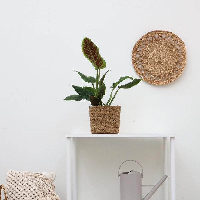 Philodendron Subhastatum - 40cm