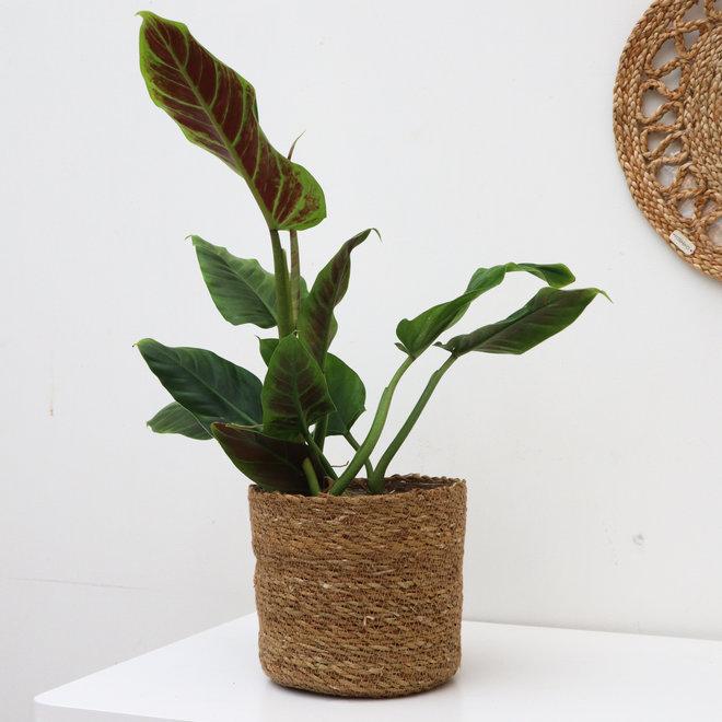 Philodendron Subhastatum - 40 cm