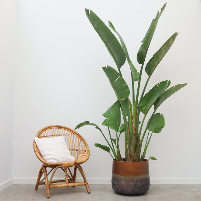 Green Bubble Strelitzia Augusta - 250 cm