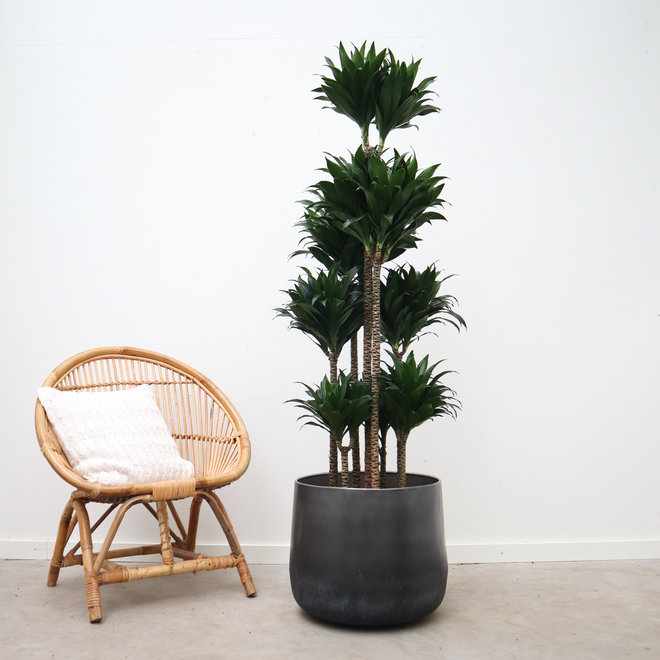 Green Bubble Dracaena Compacta - 160 cm