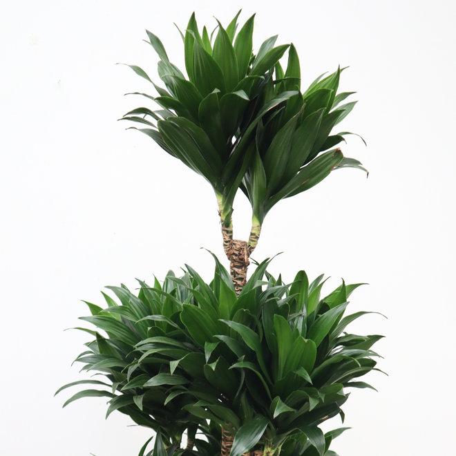 Dracaena Compacta - 160 cm