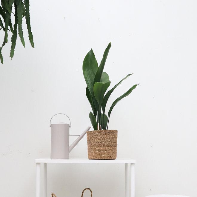 Aspidistra elatior - 40 cm