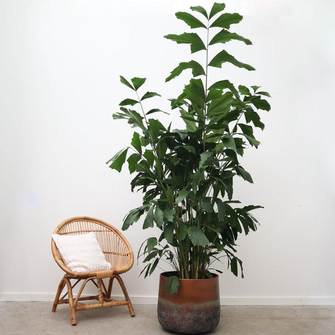 Caryota Mitis - 140 cm
