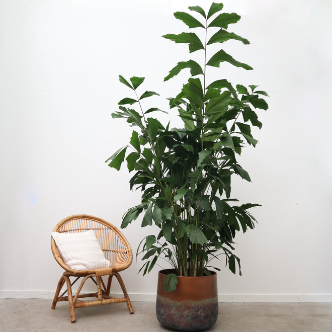 Caryota - 175 cm