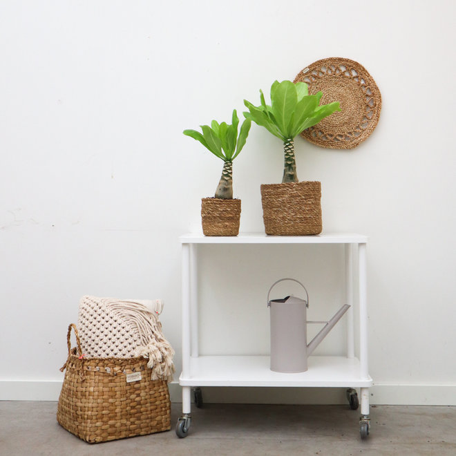 Brighamia insignis 'Hawaii Palm' set incl manden Scott 40 / 60 cm