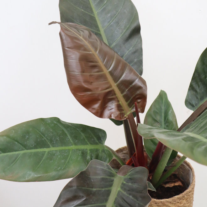 Philodendron Imperial Red - 50 cm