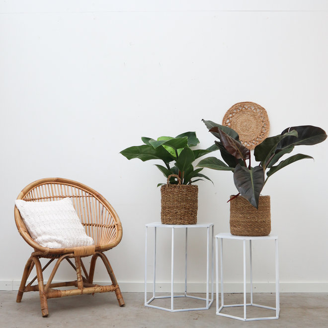 Philodendron Imperial mix - 50 cm