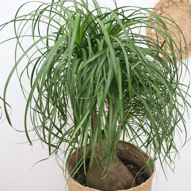 Beaucarnea vertakt - 70 cm