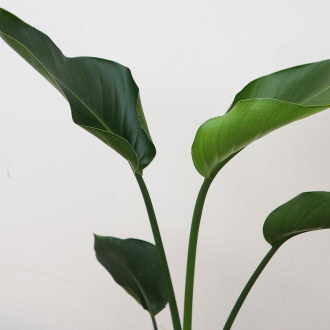 Strelitzia Nicolai combi-deal met mand scott- 50cm