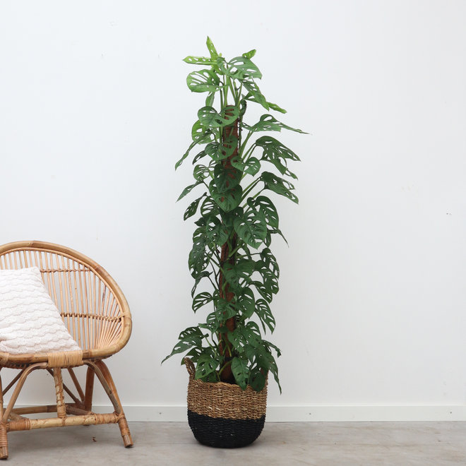 Monstera Monkey Leaf mosstok XL - 120 cm