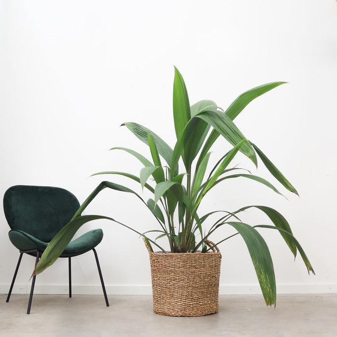 Curculigo latifolia - 140 cm