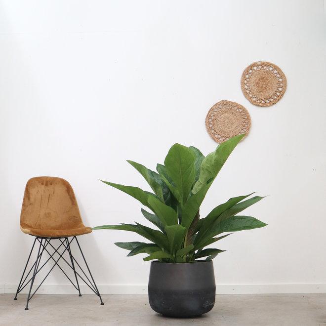 Anthurium Jungle King - 100 cm