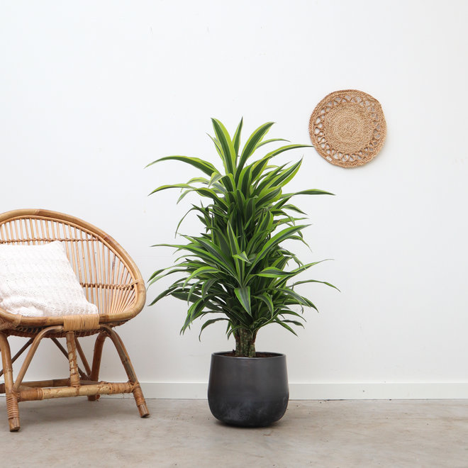 Green Bubble Dracaena lemon lime vertakt- 90 cm