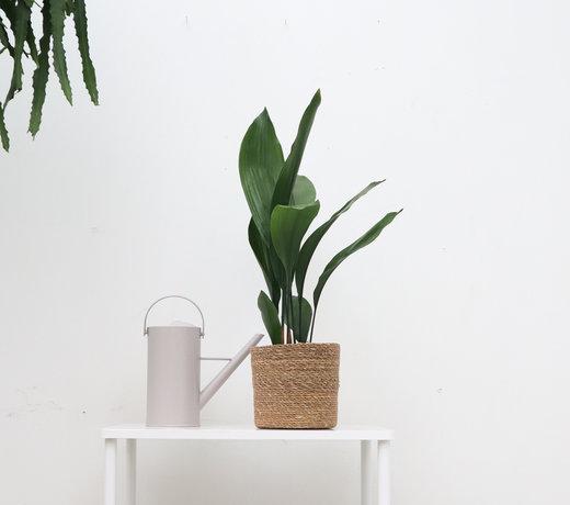 Aspidistra elatior (kwartjesplant)