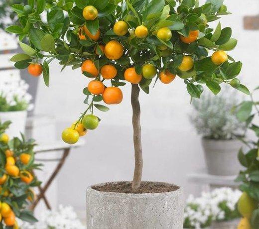 Citrus boom