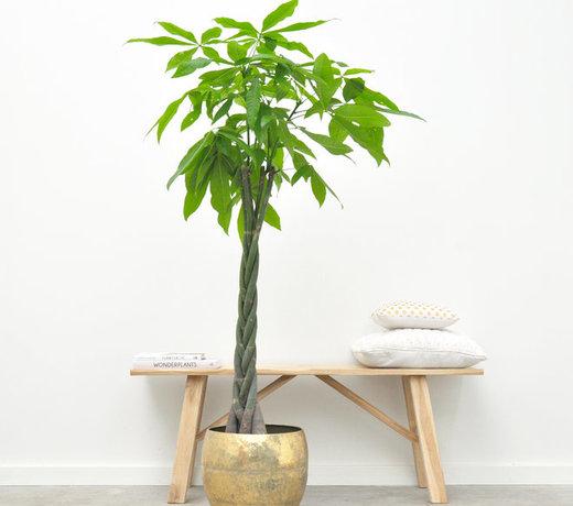 Pachira Aquatica (Geldbaumpflanze)