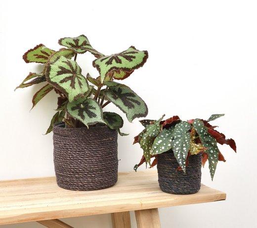 Begonia (stippenplant)