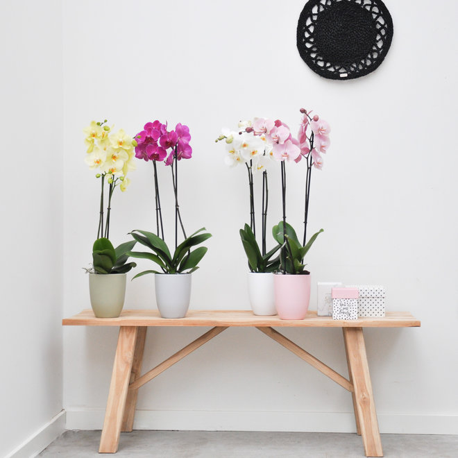 Mix orchidee package
