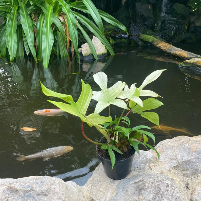 Philodendron Florida Ghost - 30 cm