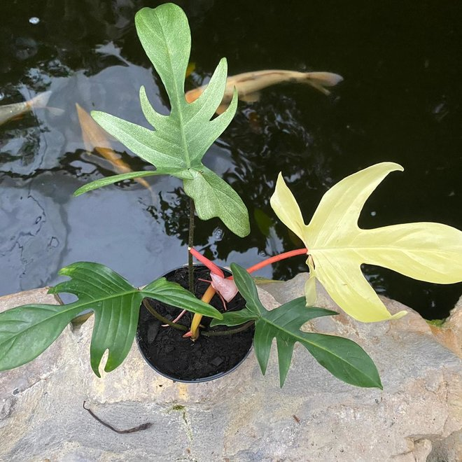 Philodendron Florida Ghost - 30 cm (4)