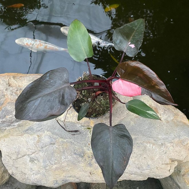 Philodendron Pink Princess - 25 cm (4)