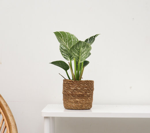 Zeldzame kamerplanten