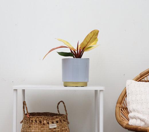 Exklusive Zimmerpflanzen
