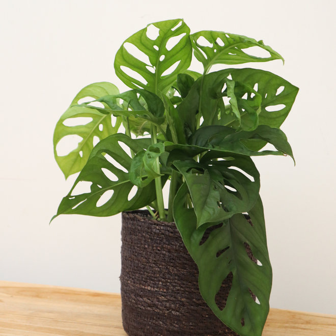 Rob's Monstera monkey leaf - 25 cm