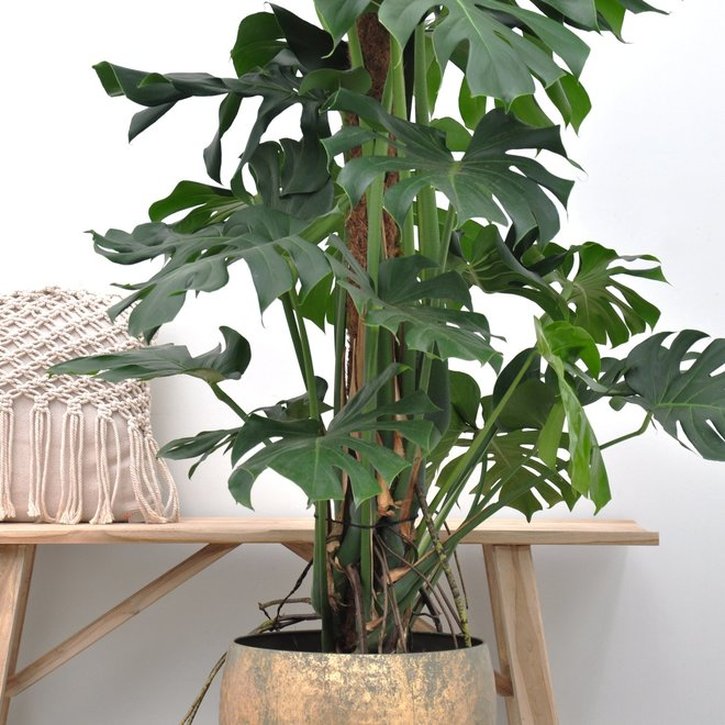 Rob's Monstera deliciosa XXL - 150cm