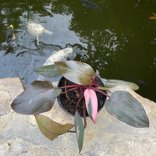 Philodendron Pink Princess - 25 cm (5)