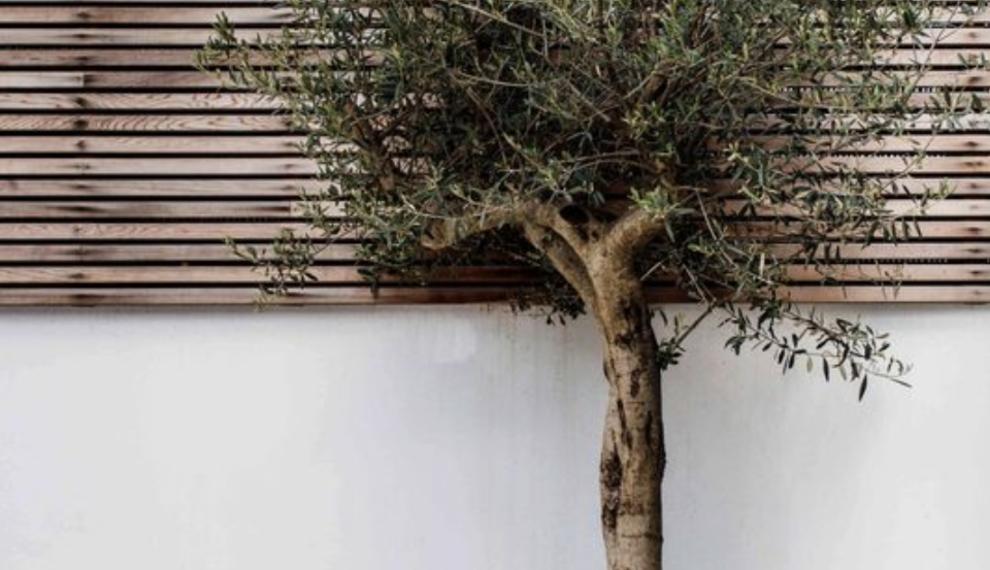 Hoe bescherm je jouw olijfboom of palm tegen de kou (buiten)?