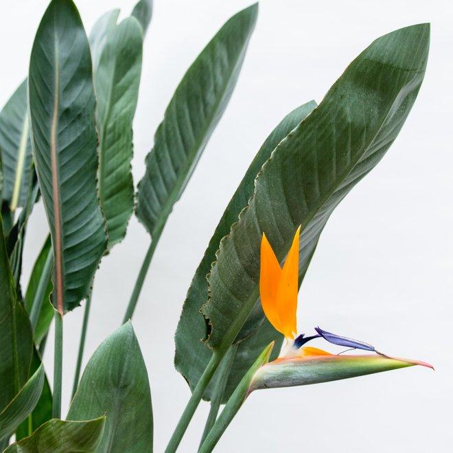 Strelitzia Reginae XL  - 150cm